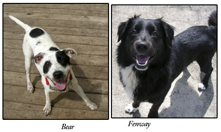 Bear and Fenway, S.A.F.E. dogs