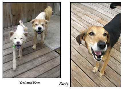 Yeti, Bear, and Rusty, S.A.F.E. Pet Rescue adoptable rescue dogs